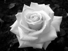 The Fallen Rose